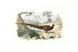 Pheasant  Phasianus Colchicus