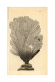 Fan Sponge  Spongia Flabelliformis