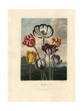 Tulip Varieties from the Temple of Flora  1812