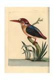 Black-Backed or Oriental Dwarf Kingfisher  Ceyx Erithaca