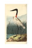 Wood Stork or American Jabiru  Mycteria Americana