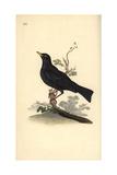 Eurasian Blackbird  Turdus Merula