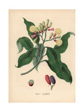 Clove Spice Tree  Syzygium Aromaticum