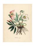 Black Hellebore or Christmas Rose  Helleborus Niger
