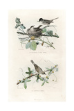 Eurasian Blackcap and Whitethroat