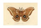 Polyphemus Moth  Antheraea Polyphemus