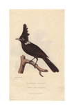 Crested Shrike Jay  Platylophus Galericulatus