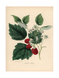 Common Raspberry  Rubus Idaeus