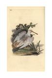 Eurasian Pied-White Woodcock  Scolopax Rusticola