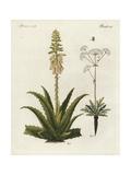 Aloe Vera and Asafoetida  Ferula Assafoetida