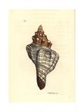 Trapezium Horse Conch  Pleuroploca Trapezium