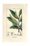 Sweet Chestnut Tree  Castanea Sylvestris