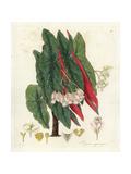 Polka Dot Begonia  Begonia Maculata