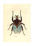 Goliath Beetle Species  Golathus Cacicus