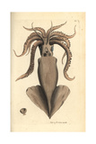 Squid  Loligo Vulgaris