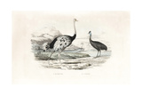 Ostrich and Northern Cassowary
