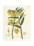 Fringed-Lipped Dendrobium Orchid  Dendrobium Fimbriatum