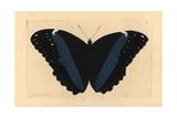 Achilles Morpho Butterfly Variety  Morpho Achilles Var