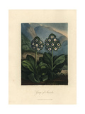 Auriculas from the Temple of Flora  1812