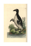 Great Auk  Pinguinus Impennis Extinct