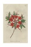Scarlet Azalea  Rhododendron Calendir Laceum