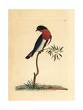 Swallow Warbler  Dicaeum Hirundinaceum