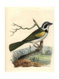 White-Browed Brush Finch  Arremon Torquatus