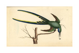 Fork-Tailed Hummingbird  Trochilus Forficatus