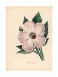 Splendid Hibiscus  Hibiscus Spendens
