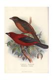Scarlet Tanager  Piranga Olivacea