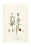 Lady's Smock  Cardamine Resedifolia