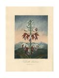 Tankerville's Limodorum  Phaius Tankervilleae