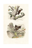 Treecreeper and Wryneck