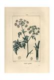 Poison Hemlock  Conium Maculatum