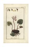 Ivy-Leaved Cyclamen  Cyclamen Hederifolium