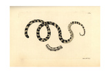 Liophis Poecilogyrus Snake