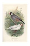 Java Sparrow  Lonchura Oryzivora