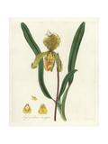 Himalayan Slipper Orchid  Paphiopedilum Insigne