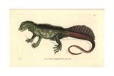 Amboina Sail-Finned Lizard  Hydrosaurus Amboinensis