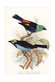 Seven-Colored Tanager and Paradise Tanager
