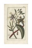 Vanilla Orchid  Epidendrum Vanilla