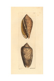 Amoria Undulata Sea Snail