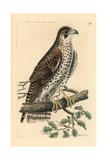 Common Falcon  Falco Communis