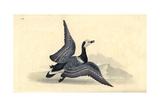 Barnacle Goose  Branta Leucopsis