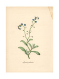 True Forget-Me-Not  Myosotis Palustris
