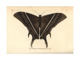 Lyssa Patroclus Moth