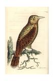 Rufous Woodpecker  Micropternus Brachyurus