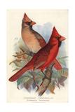 Northern or Virginian Cardinal  Cardinalis Cardinalis