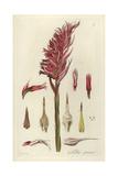 Latin American Lady Orchid  Stenorrhynchos Speciosum