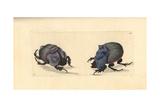Rhinoceros Beetle and Cyanean Scarab